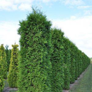 Живой зеленый забор из Туи Смарагд 180-200см (1мп)