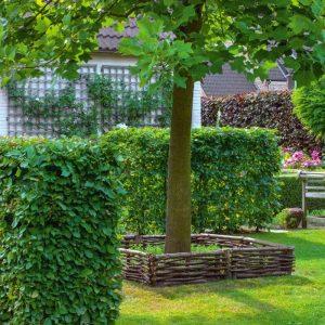 Зеленая изгородь – забор из Граба Экстра 125-150см (1мп)