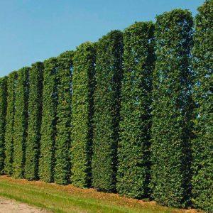 Живой зеленый забор из Граба Экстра 175-200см (1мп)