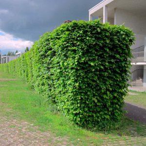 Живая изгородь из Граба 100-150см (1мп)