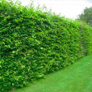 Зеленое ограждение из Граба 150-200см (1мп)